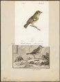 Regulus cristatus - 1700-1880 - Print - Iconographia Zoologica - Special Collections University of Amsterdam - UBA01 IZ16200204.tif