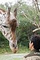 Reticulated giraffe, Tennoji Zoo (35834141312).jpg
