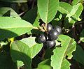 Rhamnus micronata (11362302896).jpg