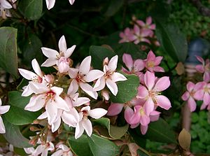 Rhaphiolepis umbellata - Image: Rhaphiolepis umbellata 2