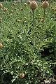 Rhaponticum pulchrum kz02.jpg