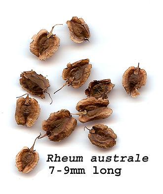 Rheum (plant) - Seeds