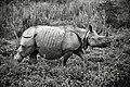 Rhino in Khaziranga.jpg