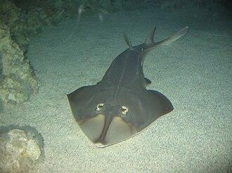 Shovelnose guitarfish - Image: Rhinobatos productus Tremendo