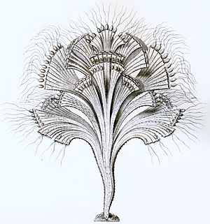 Rhizaria - Image: Rhipidodendron splendidum