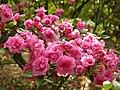 Rhododendron 'Rosebud' Cluster 3264px.jpg