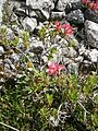 Rhododendron hirsutum RHu 03.JPG