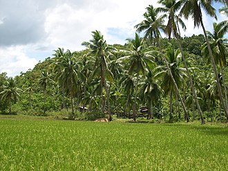 Corella, Bohol - Image: Rice Field Corella Bohol
