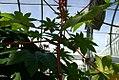 Ricinus communis 2zz.jpg