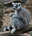 Ring tailed Lemur Lemur catta at Bronx Zoo 1 cropped.jpg