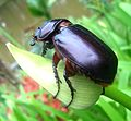 Rinocerous beetle female. - Flickr - gailhampshire.jpg