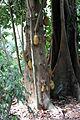 Rio de janeiro, jardim botanico, albero con frutti che escono dalla corteccia 04.JPG