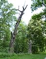 Rožmberk, památné stromořadí okolo hráze (8).JPG