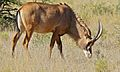 Roan Antilope (Hippotragus equinus) (6628402633).jpg