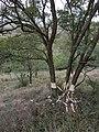 Robinia pseudacacia sl1.jpg