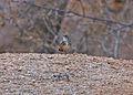 Rockrunner (Achaetops pycnopygius) (8077262741).jpg