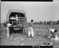 Rohwer Relocation Center, McGehee, Arkansas. Watermelons grown on the center's 750-acre farm being . . . - NARA - 539536.tif
