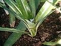 Ronnbergia nidularioides BotGardBln01102011B.JPG