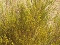 Rooibos (Aspalathus linearis)PICT2813.JPG