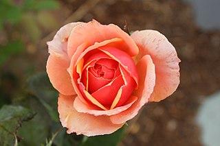 Grandiflora rose cultivar