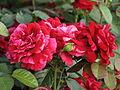 Rosa 'Deep Impression' 03.JPG