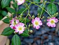 Rosa 'Mozart' 2.jpg