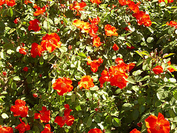 Rosa 'Sarabande' F. Meilland RPO.jpg