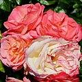 """Rosa """"Aquarell"""" o TANellqua. 04.jpg"""