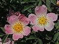 Rosa canina (27057515990).jpg