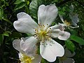 Rosa canina inflorescence (04).jpg