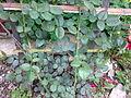 Rosa cultivars - 1003.jpg