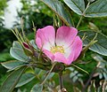 Rosa glauca inflorescence (43).jpg