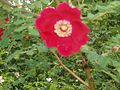 Rosa moyesii.jpg
