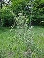 Rosa rubiginosa plant (03).jpg