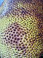Rosales - Artocarpus heterophyllus - 2.jpg