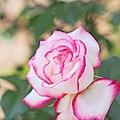 Rose,Minuette,バラ,メヌエット, (14318101088).jpg