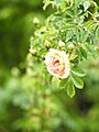 Rose, Frühlingsduft, バラ, フリューリングスドゥフト, (8728152607).jpg