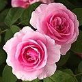 Rose, Gertrude Jekyll, バラ, ガートリュード ジェキル, (15606327367).jpg