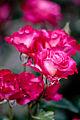 Rose, Kurenai - Flickr - nekonomania (1).jpg