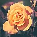 Rose (28192315013).jpg