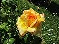Rose Philippe Noiret Meilland.jpg