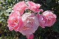 Rose Professor Seiber Cluster (4493118864).jpg