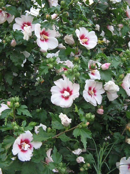 Shannon's Gardening Thread [2011-2013] 450px-Rose_of_Sharon