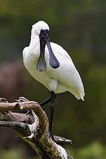 Royal spoonbill Species of bird