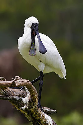 Royal Spoonbill mouth open.jpg