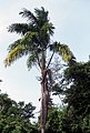 Roystonea dunlapiana.jpg