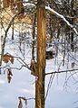 Rubbing tree 2 bialowieza benntree.jpg