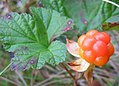Rubus chamaemorus close-up.JPG