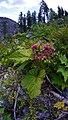 Rubus parviflorus 4.jpg
