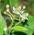 Rubus scaber in Aveyron (1).jpg
